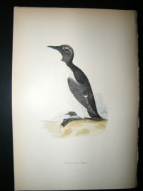 Morris 1870 Antique Hand Col Bird Print. Ringed Guillemot